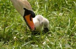 Лебедь и лебедь младенца на равных исследуют мир Стоковые Изображения RF