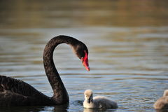 Лебедь и ее младенцы Стоковые Изображения RF