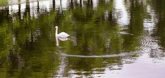 Лебедь и круги на воде Стоковое Фото