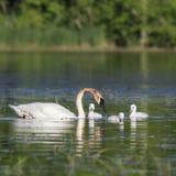 Лебедь и молодые лебеди трубача Стоковая Фотография