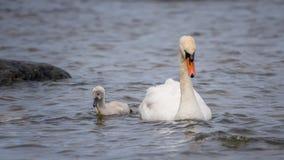Лебедь и цыпленок Стоковые Фото