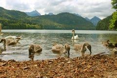 Лебедь и cygnets Стоковая Фотография