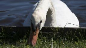 Лебедь как раз имея клев Стоковая Фотография