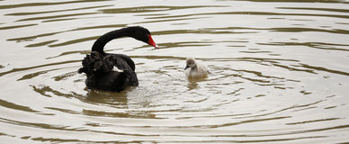 Лебедь матери и младенца черный в озере Стоковые Изображения