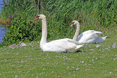 Лебедь матери и отца при ее молодые одни отдыхая Стоковое фото RF
