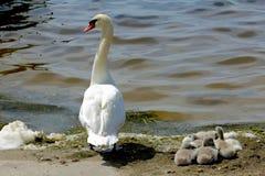 Лебедь матери с ее молодыми одними Стоковые Фото