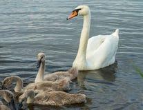 Лебедь матери с детьми Стоковое фото RF