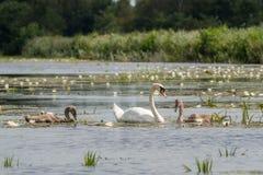 Лебедь матери с цыпленоками Стоковая Фотография RF