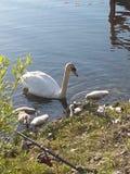 Лебедь матери Стоковое Изображение RF