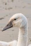 Лебедь младенца Стоковая Фотография