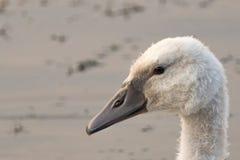 Лебедь младенца Стоковые Изображения RF