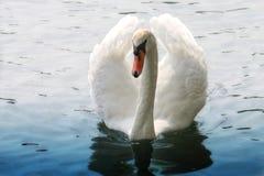 Лебедь на воде Стоковая Фотография