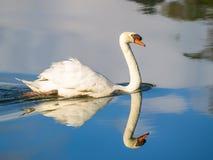 Лебедь на голубой воде озера или пруд с рефлекторной тенью Стоковое Изображение RF