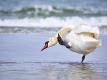 Лебедь на море Стоковое Изображение