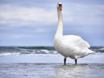 Лебедь на море Стоковое Изображение RF