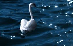 Лебедь на ноче Стоковые Фотографии RF