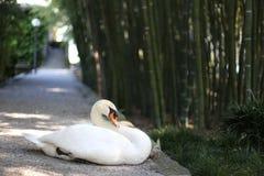 Лебедь на обязанности Стоковые Фотографии RF
