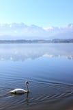 Лебедь на озере в баварской природе стоковая фотография rf