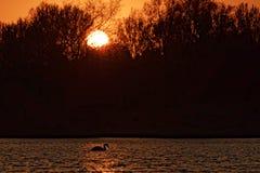Лебедь на озере на заходе солнца Стоковые Фото