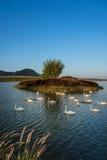 Лебедь на озере Стоковое фото RF