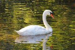 Лебедь на озере Стоковое Изображение