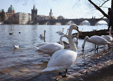 Лебедь на предпосылке Карлова моста в Праге Стоковая Фотография