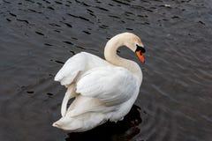 Лебедь над плечом Стоковое Изображение RF