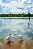 Лебедь на реке с отражением clound Стоковое Изображение RF
