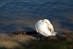 Лебедь на реке Стоковые Изображения