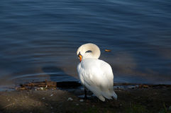 Лебедь на реке Стоковые Фото
