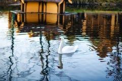 Лебедь на реке Стоковое фото RF