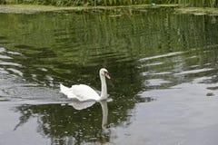 Лебедь на реке Nene на замке Wansford Cambridgeshire (1) Стоковое Изображение