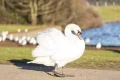 Лебедь на следе на ферме стоковые фотографии rf