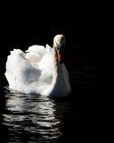 Лебедь на темной воде Стоковое Фото