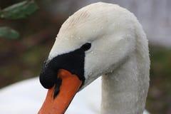 Лебедь на egret RAMSAR маленьком Стоковое фото RF
