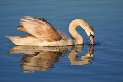 Лебедь отразил в воде озера Balaton Стоковая Фотография