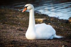 Лебедь отдыхая на береге в Хельсинки Стоковая Фотография