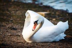Лебедь отдыхая на береге в Хельсинки стоковое фото rf