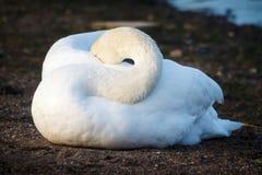 Лебедь отдыхая на береге в Хельсинки стоковые изображения rf