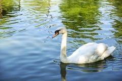 Лебедь отдыхая на озере Стоковые Изображения RF