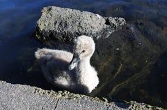 Лебедь одичалого младенца черный Стоковое Изображение