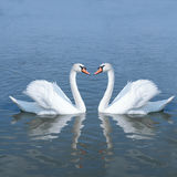 Лебедь пар Стоковая Фотография RF