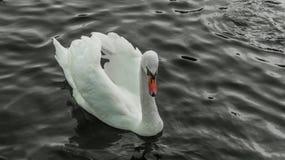 Лебедь портрета одиночный белый взрослый в темной воде Ливерпуле, Великобритании стоковые изображения rf
