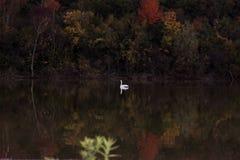 Лебедь посреди цветов Стоковое Изображение