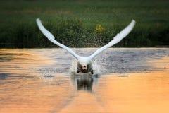Лебедь принимает фронт стоковые фотографии rf