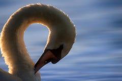 Лебедь прихорашиваясь на голубом озере Стоковое Изображение