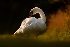 Лебедь прихорашиваясь на речном береге Стоковые Изображения