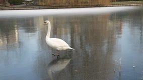 Лебедь пробуя идти на лед видеоматериал