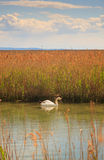 Лебедь плавая на реку Стоковая Фотография