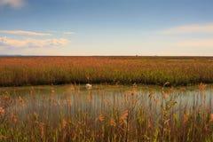 Лебедь плавая на реку Стоковое Изображение